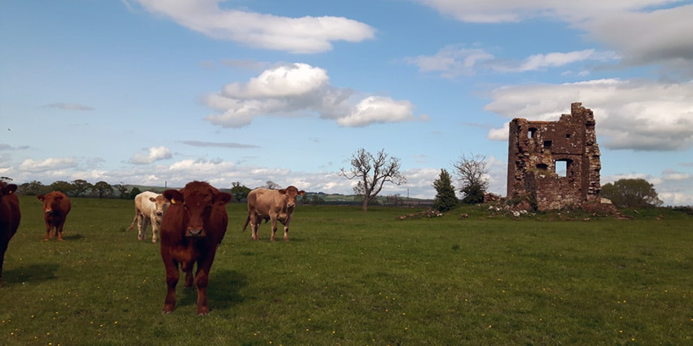 isle-tower-cows